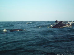 Humpback, Fin & Pilot Whales await your tour along with  a magnificent coastline 20 minute drive to Bay St. Lawrence